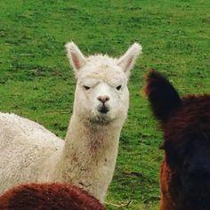 Ah Jasper you're a cutie  #alpacaoftheday #alpaca #huacaya #alpacatrek #alpacatrekking #daysout #thingstodo #druridgebay #farmstay #stayonafarm #hemscotthill #visitnorthumberland #visitbritain #visitnland #itsinournature