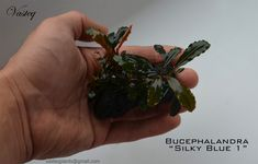 Bucephalandra - all in one - Plant Physiology & Emersed Culture - Aquatic Plant Central