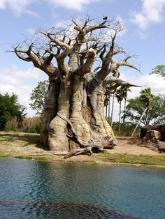 "<a href=""http://www.krugerpark.co.za/africa_baobab.html"" target=""_blank"" rel=""nofollow""> <b>Baobab Tree</b></a> <i>(Adansonia digitata)</i> - The baobabs, totaling about a dozen species, are native to the hot dry savannas in Africa, Madagascar and northern Australia. The name baobab is taken from the Swahili language where it is also called the Mbuyu tree. The baobab tree has an enormous trunk with tapering branches and can attain a maximum height of 75 feet and maximum diameter of 60 feet…"