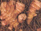 Jerusalem artichoke growing information
