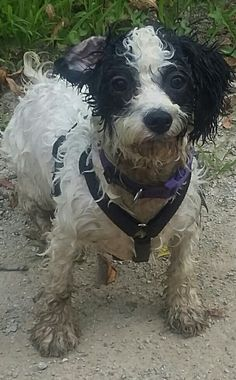 """Izzy my lovable 6 month old Cavachon puppy. """" I love swim and get dirty"""" Cavachon Puppies, 6 Month Olds, Swimming, Dogs, Animals, Swim, Animales, Animaux, Pet Dogs"""
