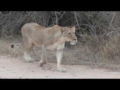 Impala, Lions, Hunting, Cats, Animals, Lion, Gatos, Animales, Kitty Cats