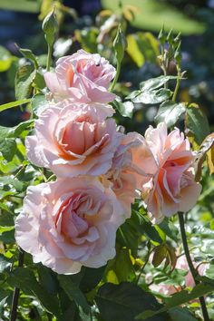 'Mother of Pearl' |Grandiflora rose. Introduced in 2006 by Meilland. | Flickr - © Clara Johnson