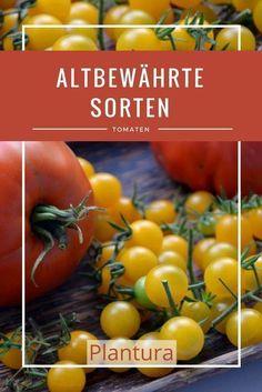 75 Lycopersicon esculentum robuste Sorte ! alte Samen Tomate Pear Yellow