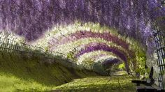 Tunnel flower. Le Tunnel Wisteria est situé dans les jardins Kawachi Fuji à Kitakyushu, au Japon. La floraison des arbres crée des branches qui pendent au dessus des passants et les lignes de différentes couleurs embellissent le jardin.