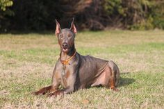 Louie Doberman 3 by DOBERwoMAN