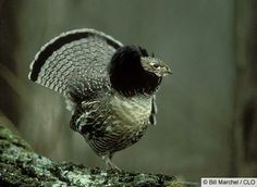 Ruffed Grouse on display...I've actually seen this!