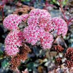 Sedum spectabile (Showy stonecrop, Everlasting) - Fine Gardening Plant Guide