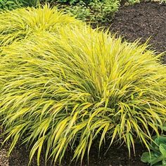 Pieris japonica mountain fire google search aserafone for Ornamental grass with yellow flowers