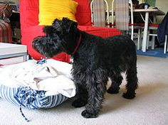 How to take care of your miniature schnauzer....read on...