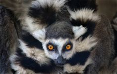Lemur on the lookout by Ion Moe
