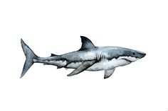 Watercolor shark by Karla GP Hai Tattoos, Body Art Tattoos, Shark Painting, Painting & Drawing, Watercolor Animals, Watercolor Art, Animal Drawings, Art Drawings, Anatomy Sketch
