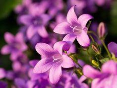 Glockenblume Blume