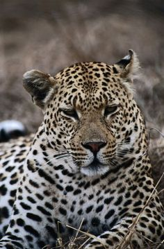 Africa   Leopard, Sabi Sands Game Reserve. South Africa   © Ariadne Van Zandbergen