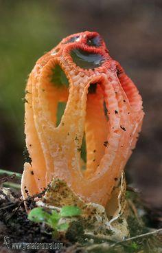 Stinkhorn Fungus (Colus hirudinosus) ~ By Lucas Gutiérrez: