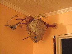 Indoor hornets nest---WHY?!?!?!?!?