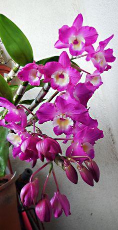 dendrobium nobile orchid