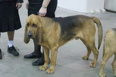 Blood Hound. would love to have a dog like this