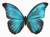 Male Adult Blue Morpho Butterfly (Morpho Amathonte) Impressão fotográfica por Jeffrey Miller