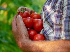 Growing Tomatoes From Seed, Types Of Tomatoes, Small Tomatoes, Growing Vegetables, Determinate Tomatoes, Legume Bio, Beefsteak Tomato, Comment Planter, Tomato Season