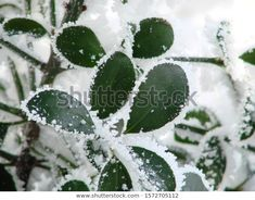 Find Green Bush Branches Snow stock images in HD and millions of other royalty-free stock photos, illustrations and vectors in the Shutterstock collection. Thousands of new, high-quality pictures added every day. Branches, Vectors, Plant Leaves, Photo Editing, Royalty Free Stock Photos, Snow, Illustrations, Pictures, Green