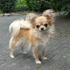 long-haired chihuahua, I love their big marble eyes, my Muffin has the prettiest #chihuahuadaily #teacupdogs #teacupchihuahua-OMG this is my sisters dog twin!