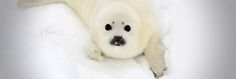 Against the seal slaughter - Fondation 30 Millions d'Amis