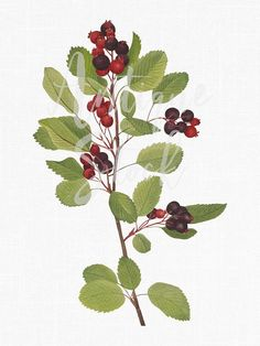 "Antique prints of ""Saskatoon"" from Walcott North American Wild Flowers 1925 Create Wedding Invitations, Antique Illustration, Plant Illustration, Antique Prints, Botanical Prints, Vintage Images, Flower Prints, American Art, Wild Flowers"