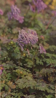Free Delivery!!! Corydalis flexuosa /'Purple leaf/' in 9cm Pot Perennial