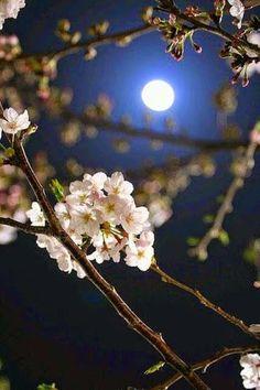 Cherry tree and moon