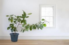 How to grow the three most popular varieties of ficus trees, including Weeping Figs, Rubber Trees and Fiddle-Leaf Figs.