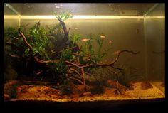 68 Best Blackwater Biotopes Images Fish Tanks Aquarium Ideas