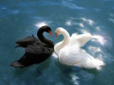 I found a beautiful picture of a pair of swans on Wikimedia, and it's been sitting in my computer for ages. Hakucho No Yin Yang Angel Aesthetic, Aesthetic Images, Retro Aesthetic, Aesthetic Iphone Wallpaper, Aesthetic Wallpapers, Lake Garden, Cute Icons, Yin Yang, Spirit Animal