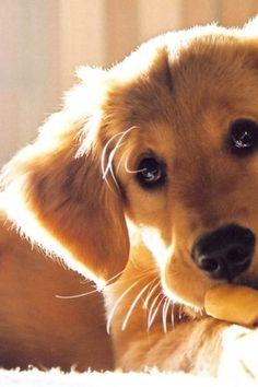 Golden retriever puppy sweet face