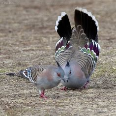 """""""Crested pigeon showing off in the park this morning. Crested Pigeon, Beautiful Birds, Chris Walker, Park, Animals, Twitter, Animales, Animaux, Parks"""