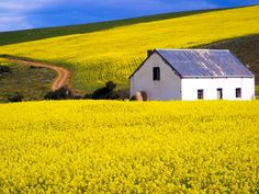 ***Canola fields in the Overberg (South Africa) by Liandi Slabbert