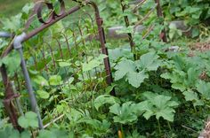 Use an old gate for green beans in the garden