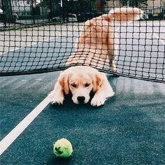 PINTEREST // @thenewfantastic ✧ #GoldenRetriever