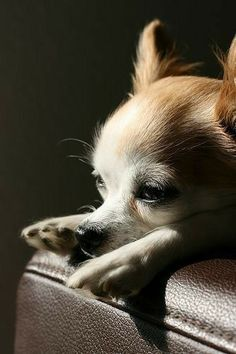 Teacup Chihuahua, Chihuahua Love, Chihuahua Puppies, Cute Puppies, Cute Dogs, Dogs And Puppies, Chihuahuas, Love My Dog, Little Dogs