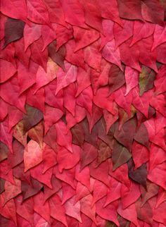 55651.01 Euonymus alatus red