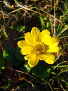 Ranunculus bullatus. Flor de San Diego. Nace sobre todo en herbazales. Florece en marzo-abril