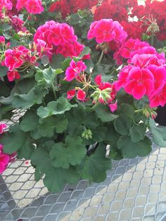 geranium calliope medium dark red pelargonie pelargonium pinterest. Black Bedroom Furniture Sets. Home Design Ideas