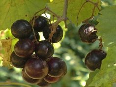 How to Grow Muscadine Grapes How to Grow Muscadine Grapes : How-To : DIY Network Growing Raspberries, Growing Grapes, Blackberries, Grape Vine Trellis, Grape Vines, Farm Gardens, Outdoor Gardens, Muscadine Vine, Grape Plant