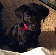 Black Lab Puppy! So cute!,