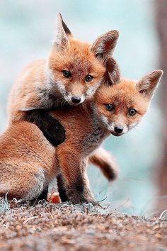 Little Buddies - #Fox