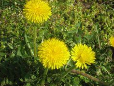 Löwenzahn: Die Natur stellt diese alte Heilpflanze bereit, um nach der kalten und dunklen Jahreszeit den Stoffwechsel wieder in Gang zu bringen.