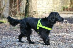 Molly our Cat Detection Dog wearing her reflective harness during a lost cat search 2017 UKPD the pet detectives