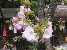 さくら 平野神社 「胡蝶」