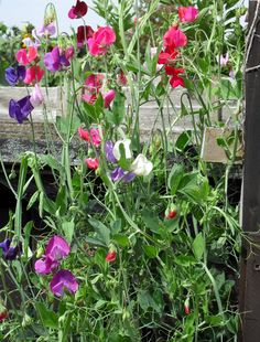 I love sweet peas. It's probably the most beautiful fragrance of all the flowers!