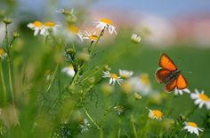 red butterfly and daisy-type flowers | Sara Nikolai on Flickr